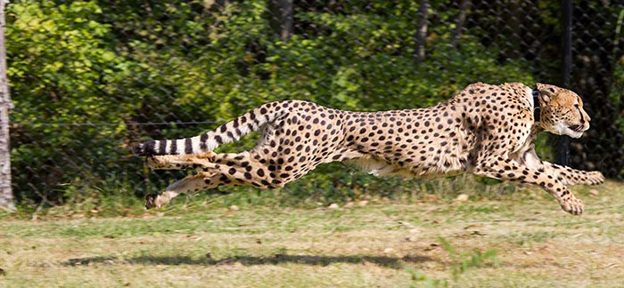 Image of cheetah wearing a collar running for Quotacy blog A Faster Way of Getting Life Insurance Coverage with Haven Life