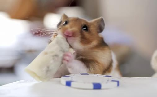 This hamster is really loving that little burrito. It's the size of his head!