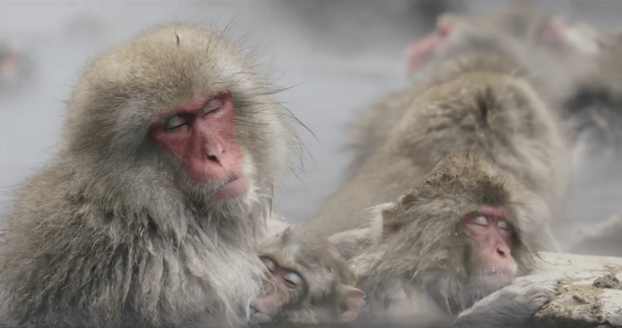 Three snow monkeys taking a spa day