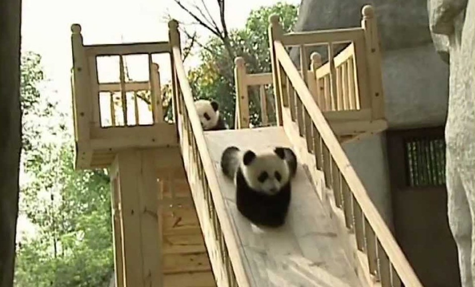 These pandas are having a BLAST on this slide.