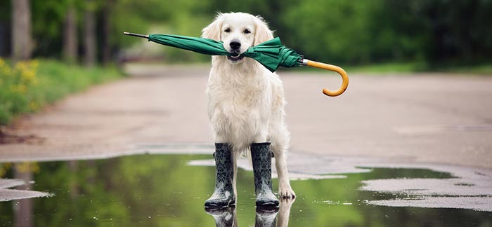 Image of a dog wearing rain boots holding an umbrella