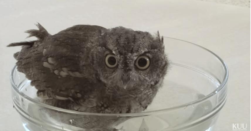 quotacy owl
